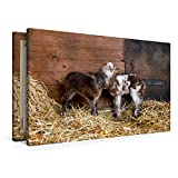 Premium Textil-Leinwand 90 x 60 cm Quer-Format Schafe und Lämmer   Wandbild, HD-Bild auf Keilrahmen, Fertigbild auf hochwertigem Vlies, Leinwanddruck von Hermann Greiling