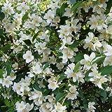 Bauernjasmin - Philadelphus coronarius - Jasmin für den Garten