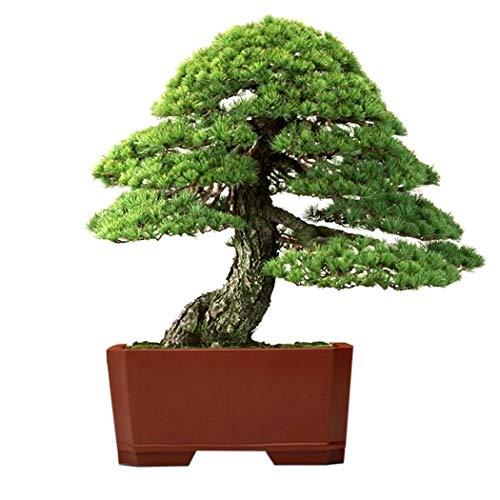 Mymotto 20 Stü Thunbergii Schwarzkiefer Bonsai Baum flores Topfpflanzen Japanische Bonsai Kiefer für Hausgarten Pflanzen Blumensamen
