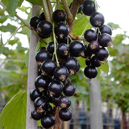 Titania (S) schwarze Johannisbeere Busch, langtraubig, hoher Ertrag, Pflanze ca. 40-60 cm im 3 L Topf