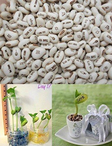 20-pcs-semence-beans-magique-haricot-message-plantes-graine-blanc-cadeau