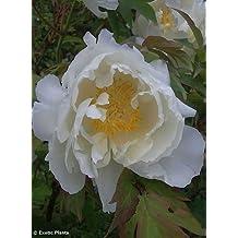 Paeonia lactiflora - peonía china - 5 semillas