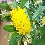 Cross Common Nursery Cytisus Battandieri Yellow Tail AGM