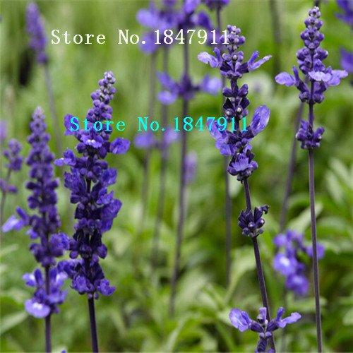 Grande vente Paquet d'origine 100 pcs / Paquet, graines de sauge comestibles, herbes vivaces plantes Bonsai intérieur semences maison de fleurs