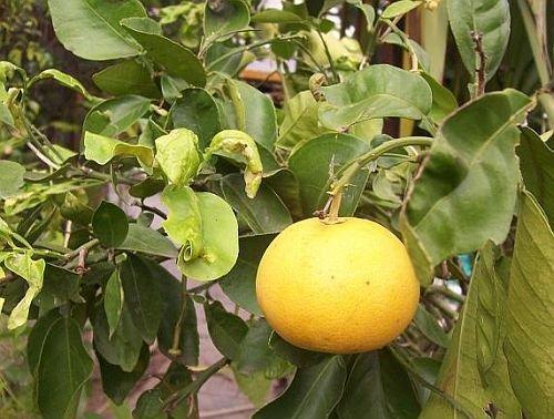 Citrus maxima - pamplemousse - 5 graines