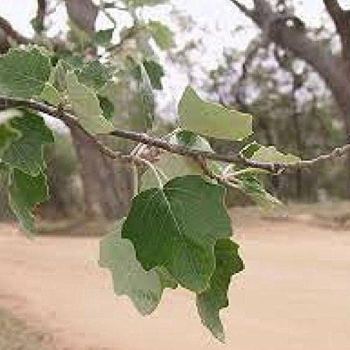 Peuplier Blanc (populus Alba)
