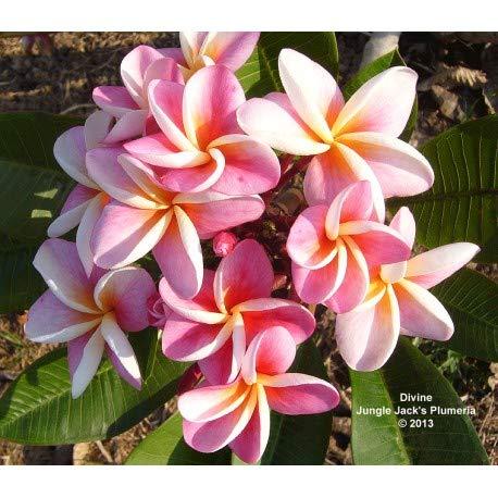 plumeria jungle jacks - pianta con vaso di 18 cm - vendita esclusiva in europa (divine)