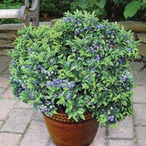 Zwerg Heidelbeere 'Top Hat' 15 Samen - süß, große Früchte auf kleine Pflanze (Blueberry (Hats Zwerg)