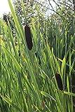 2er-Set - Typha latifolia - breitblättriger Rohrkolben - Wasserpflanzen Wolff