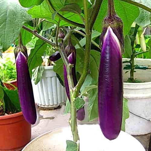 Légume graines balcon bonsaï violet graines long aubergine 30seed / sac