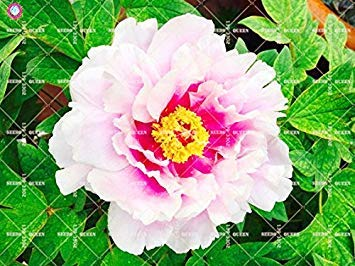 10 pcs Double Blooms Pivoine Seeds Heirloom Seeds Sorbet robuste Pivoine rouge Bonsai Pot de fleurs Arbre pivoine Jardin Graines Plante 6