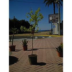 Granatapfelbaum/punica granatum