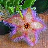 Generico Stapelia Pulchella Seeds Colorful Cactus Lithops Bonsai Garden Courtyard Plants - 5-100Pcs / Pack