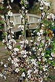 Shop Meeko Prunus tomentosa - Downy Kirsche, Nanking Cherry - in 9 cm Topf