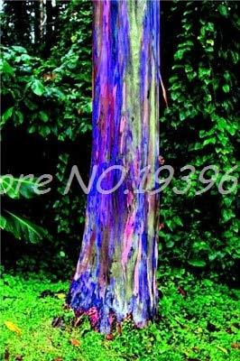 Ventes de 200 pièces/sac Rare Rainbow Arbre tropical Showy, vivace Bonsai Potted Maison et Jardin bleu (ing GRAINES SEULEMENT)