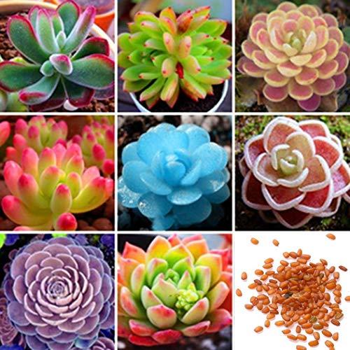 Wekold Set Sukkulenten Kombination - 50 Samen Desktop Mini Kombination Gemischte Saftige Grüne Pflanze Blume Topf Samen -