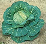 SeeKay Cabbage F1 Spring Hero 75 seeds