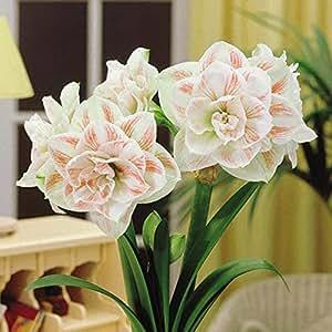 Amaryllis Nymphe 1 Bulbe De Fleur Jardin