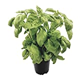Großblättriges Basilikum im Topf - aromatische Gewürzpflanze in bester Gärtnerqualität - beliebtes Küchenkraut zum Würzen und Verfeinern von diversen Speisen
