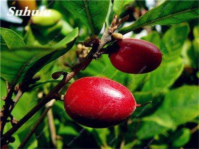 Chine bon marché 5 Pcs Miracle Fruit Graines Cashew Arbre Anacardium Tropical New Pot Occidentale Plantation Gardens Livraison gratuite 16