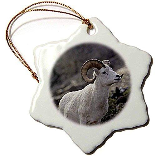 Bowen Rhodes Dall-Schaf, Dall RAM, Wildlife, Denali, Alaska usa-us02gre0087-gerry Reynolds-Snowflake Ornament, 3Zoll, Porzellan