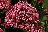 NUOVO! 40+ SEMI Giove BARBA fiore/rosso, bianco/viola / PERENNE