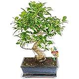 Exotenherz.de - Bonsai Ficus retusa, età 10 anni