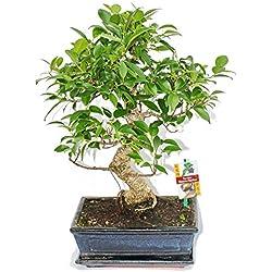 Bonsai Chinesischer Feigenbaum - Ficus retusa - ca. 10 Jahre
