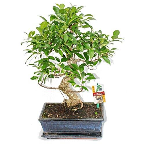 Bonsai Chinesischer Feigenbaum – Ficus retusa – ca. 10 Jahre