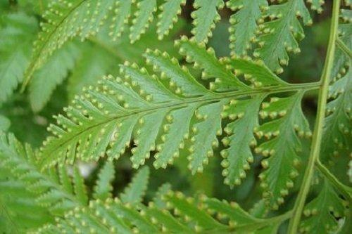 Davallia denticulata - rabbits root fern - 100 Samen