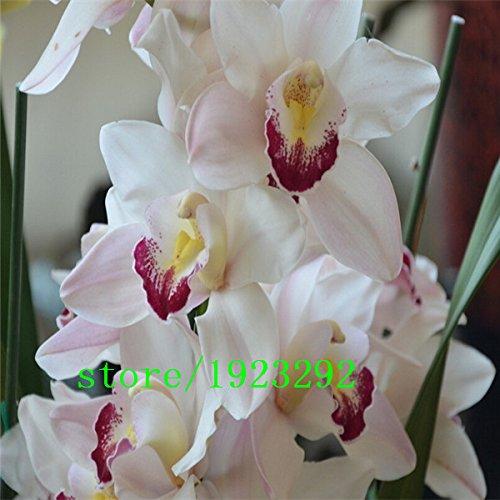 2 rossi oxalis acetosella fiore oxalis viola trifoglio 100% di semi veri semi di fiori perenni esterno per il giardino di casa