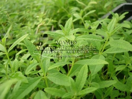 lippia citriodora cedrina pianta citronella anti zanzare contro le zanzare
