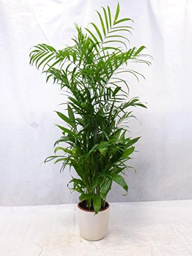 Chamaedorea Seifrizii 160 cm / Bambuspalme / seltene Zimmerpflanze