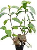 Hydnophytum Mosleyanum - Ameisenpflanze - eine sehr interessante Zimmerpflanze...