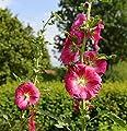 Rote Stockrose - Alcea rosea von Baumschule - Du und dein Garten