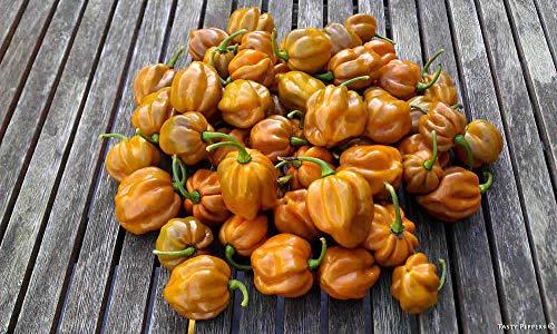 Portal Cool Habanero Mustard - Hot Chilli Pepper (10 Samen) extrem heiß!