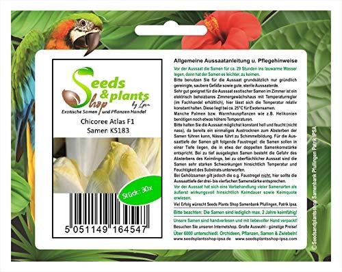 Stk - 30x Chicoree Atlas F1 - Chicorée Samen Gemüse Garten Saatgut Salat KS183 - Seeds Plants Shop Samenbank Pfullingen Patrik Ipsa