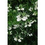 Portal Cool Un 1G (Aprox. 500) Negro de comino Semillas muy decorativo hierba de la especia
