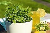 Prickelnde Limo-Pflanze Agastache Mexicana Frische Baumschul Qualität Gartenkräuter