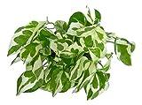 #9: Root Bridges Indoor N'Joy Money Plant (Pot included)