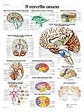 3B Scientific vr4615l der menschliche Gehirn, 1