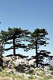 Seedeo Österreichische Schwarzkiefer (Pinus nigra austriaca) 30 Samen