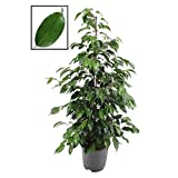Birkenfeige - Ficus 'Danielle' 100-110 cm Zimmerpflanze