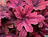 Heuchera - Purpurglöckchen, Sweet Tea - in Gärtnerqualität von Blumen Eber