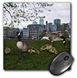 Danita Delimont - Birds - USA, Washington, Seattle, Canada Geese birds - US48 RBR0016 - Rick A Brown - MousePad (mp_1484