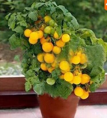 Inovey 200Pcs Tomate Graines De Jardin Légume Plantation Rouge Jaune Noir Tomates en Pot Bonsaï - Jaune