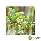 Kräutersamen - Portulak - Portulaca oleracea - verschiedene Sorten(Portulak - Grüner)
