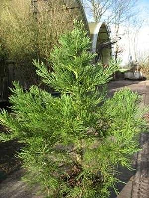 immergrüner Mammutbaum Sequoiadendron giganteum 80 - 100 cm hoch im 10 Liter Pflanzcontainer von Plantenwelt Wiesmoor auf Du und dein Garten