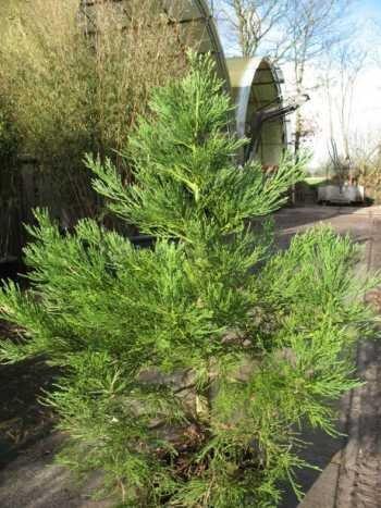 Unterpflanzung Bäume und