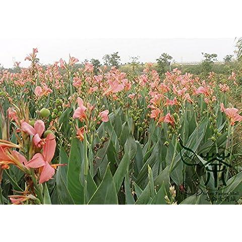 Semi di semi di fiori di papavero Islanda Mix Rosa Giallo Cream Orange Rose bianco e bicolors decorazione del giardino pianta libera 50 PCS P56